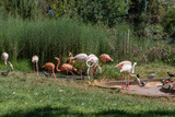 Flock of pink and white flamingo, nice pink big bird, animal in habitat