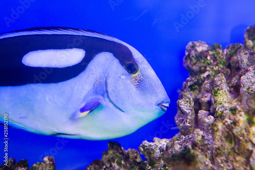 Leinwandbild Motiv Blue Tang Surgeon Fish Paracanthurus hepatus at the aquarium of Vietnam