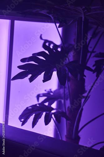 plant fern under purple light - 258159979