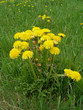 Yellow dandelions on a background of green grass - 258167797