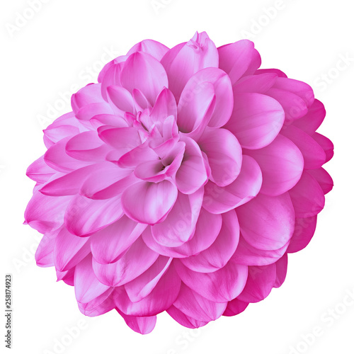 flower pink dahlia isolated on white background with clipping path. Close-up. Nature. - 258174923