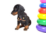 Two-month smooth black and tan dachshund puppy with beads and next to colorful pyramid on white background