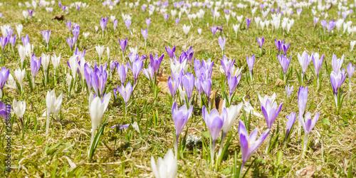 Krokuswiese im Frühjahr als Panorama © by paul