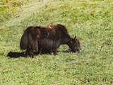 Yack (Bos grunniens) broutant sur un vert paturage.