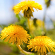 White fluffy dandelions, natural green blurred spring background, selective focus. - 258197501