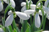 snowdrops on a green background