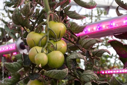 canvas print picture Cultivo de tomate con luz artificial