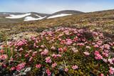 Beautiful wild flowers Kalmia procumbens or Loiseleuria procumbens, commonly known as alpine azalea or trailing azalea. Plants in the tundra on the hillside. Arctic nature. Chukotka, Siberia, Russia.