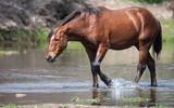 Fototapeta Fototapety z końmi - Wild Horses in River © Jami