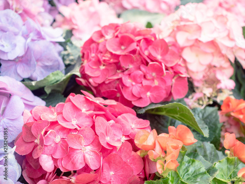 Hydrangea flower background for wallpaper decoration - 258245953