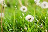 Fototapeta Fototapeta z dmuchawcami - dandelion in grass © Marina