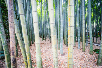 bamboo forest in Japan © Pabkov