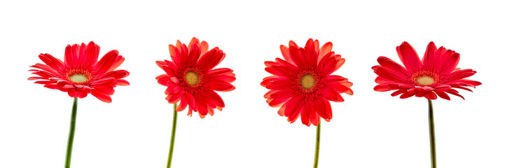 Four red daisies (gerbera) flowers isolated on panoramic white background © Delphotostock