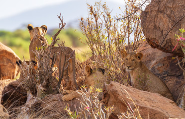 Four young lions hidden amongst rocks surveying grassland for prey Samburu Kenya East Africa