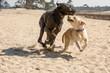 Duitse dog en labrador spelen in de duinen