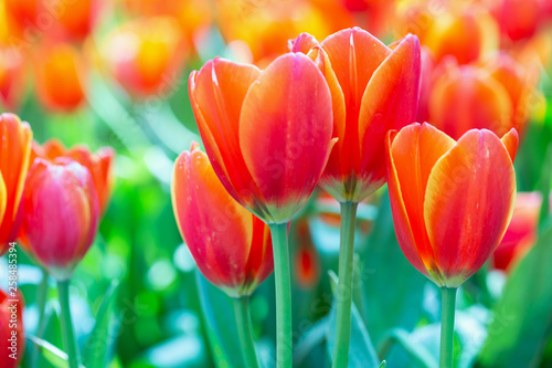 Leinwandbild Motiv Tulip flower with green leaf background in tulip field at winter or spring day for postcard beauty decoration and agriculture concept design.