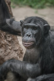 Portrait of curious wondered adult Chimpanzee
