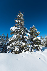 Landscape view of snow covered alpine mountain range with conifer pine trees © Paul Vinten