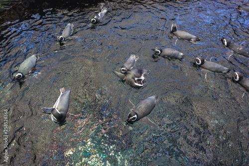 Fototapeten Pinguine Group of Magellanic penguins swimming in water
