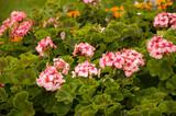 Pelargonium flower on the garden-bed. Geranium