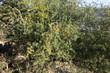 canvas print picture - Arganbaum oder Arganie Marokko
