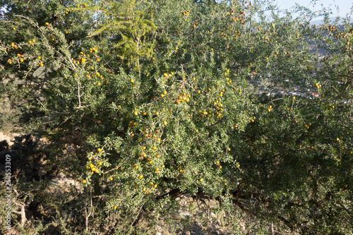 canvas print picture Arganbaum oder Arganie Marokko