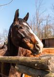 Fototapeta Fototapety z końmi - Brown horse profile outside on the farm. © EleSi