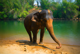 Elephants.Elephant standing at the river.