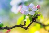 Spring awakening. Beautiful apple blossom. Nature background.