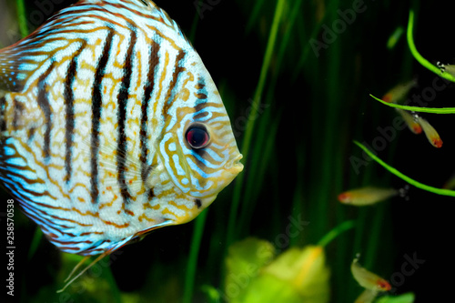 fototapeta na ścianę discus fish in aquarium, tropical fish. Symphysodon discus from Amazon river. Blue diamond, snakeskin, red turquoise and more