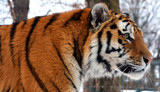 Amur Siberian tiger is a Panthera tigris tigris population in the Far East, particularly the Russian Far East and Northeast China