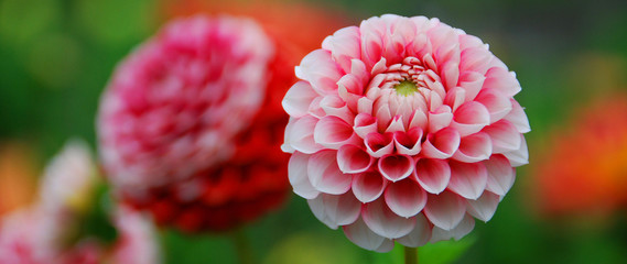 Dahlia is a genus of bushy, tuberous, perennial plants native to Mexico, Central America, and Colombia. There are at least 36 species of dahlia, some like D. imperialis up to 10 metres tall. © Daniel Meunier