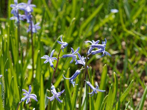 Hyacinthus orientalis - Jacinthes d'Orient © Marc