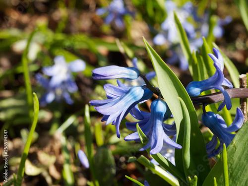 Hyacinthus orientalis - Jacinthe d'Orient © Marc