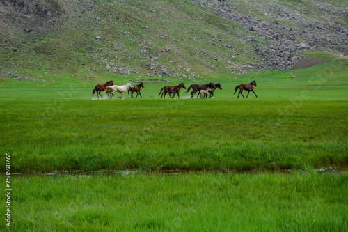wild horses of nature, magnificent galloping and spring season © crazymedia