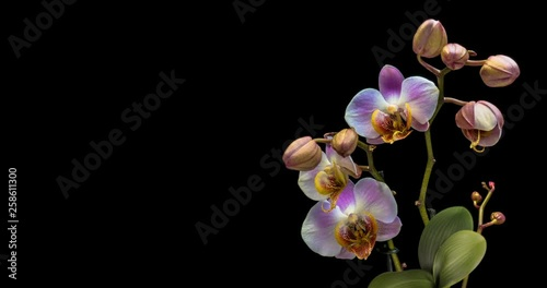 Timelapse of blooming Orchid flowers on a black background. 4K