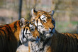 Zwei Tiger im Portrait schauen in die gleiche Richtung