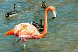 Gorgeous pink flamingo standing in water with other birds on background. Beautiful backgrounds.