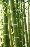 Fototapeta Bambus - 竹林 © kiyopayo