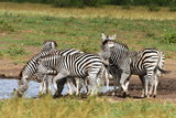 herd of zebras at waterhole,Kruger national park in SOuth Africa