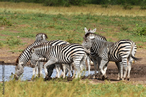 herd of zebras at waterhole,Kruger national park in SOuth Africa