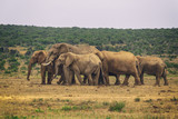 Herd of african elephants in Addo National park, South Africa