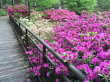 Public Southern USA Garden Filled with Azalea Flowers in Bloom