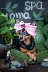 Massage and spa, a dog in a turban of a towel among the spa care items and plants. Funny concept grooming, washing and caring for animals © Mariana
