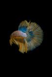 Betta splendens (Siamese fighting fish) - 258740962