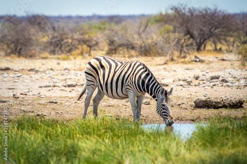 Zèbre de Namibie dans la savane du parc Etosha - 258747760