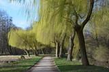 Wierzby płaczące, wierzby żałobbne wczesną wiosną, aleja w parku