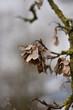 canvas print picture - Ahornsamen am Baum