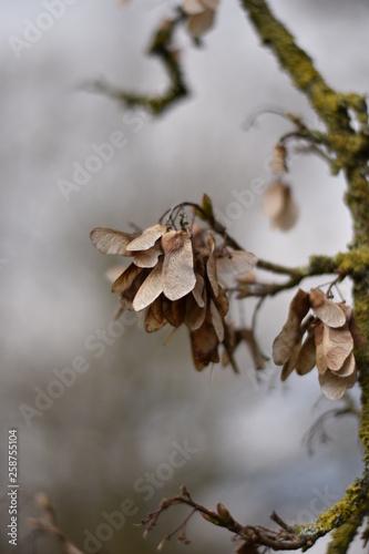 canvas print picture Ahornsamen am Baum