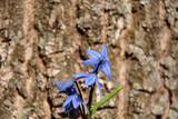Proleski, blue snowdrops